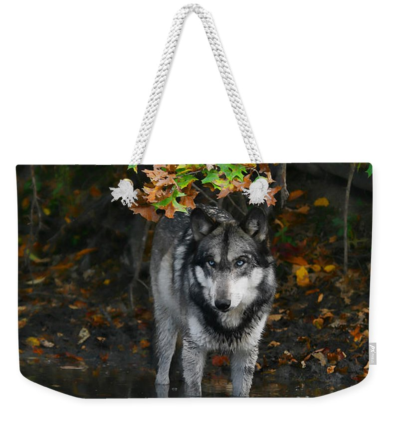 Wolf Wolves Lupine Canis Lupus Wildlife Animal Photography Photograph Weekender Tote Bag featuring the photograph Autumn Wolf by Shari Jardina