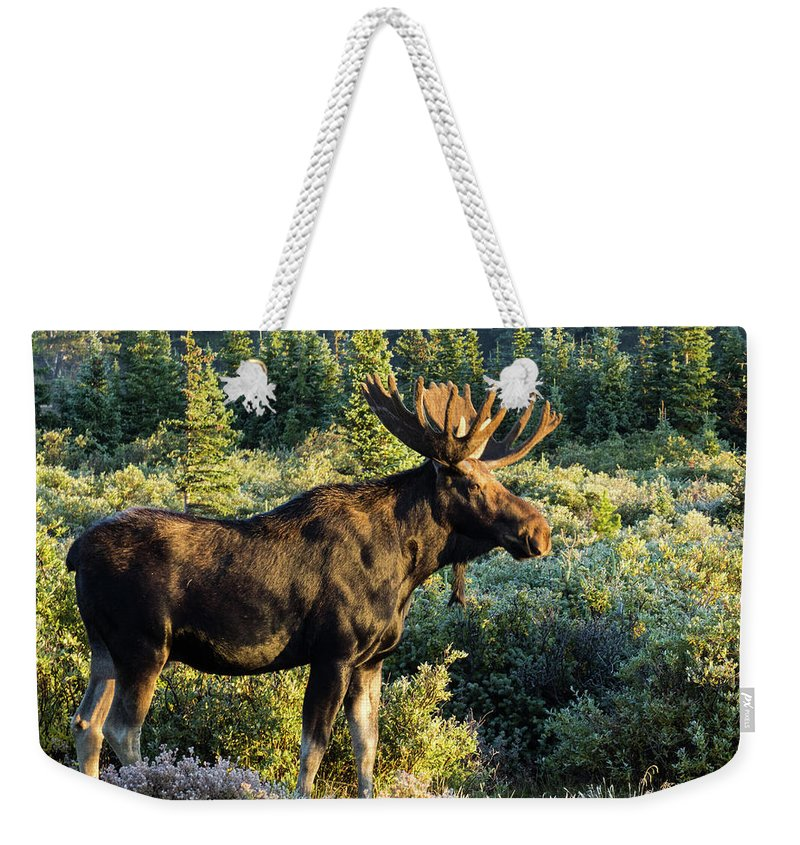 Moose Weekender Tote Bag featuring the photograph Basking In The Morning Sun by Steven Parker