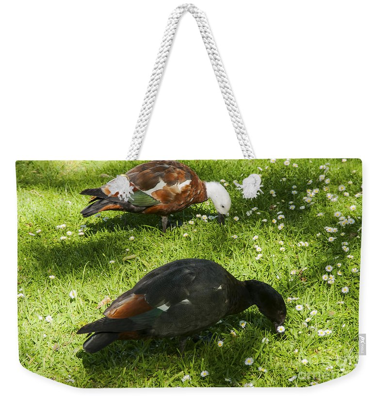 Botanical Gardens Christchurch New Zealand Female Paradise Duck Ducks Bird Birds Animal Animals Creature Creatures Grass Grasses Weekender Tote Bag featuring the photograph Beautiful Pair by Bob Phillips