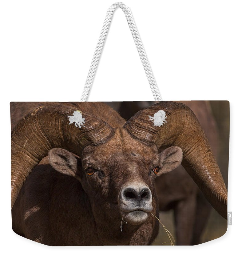 Big Horn Weekender Tote Bag featuring the photograph Big Horn Grazing by Jeff Shumaker