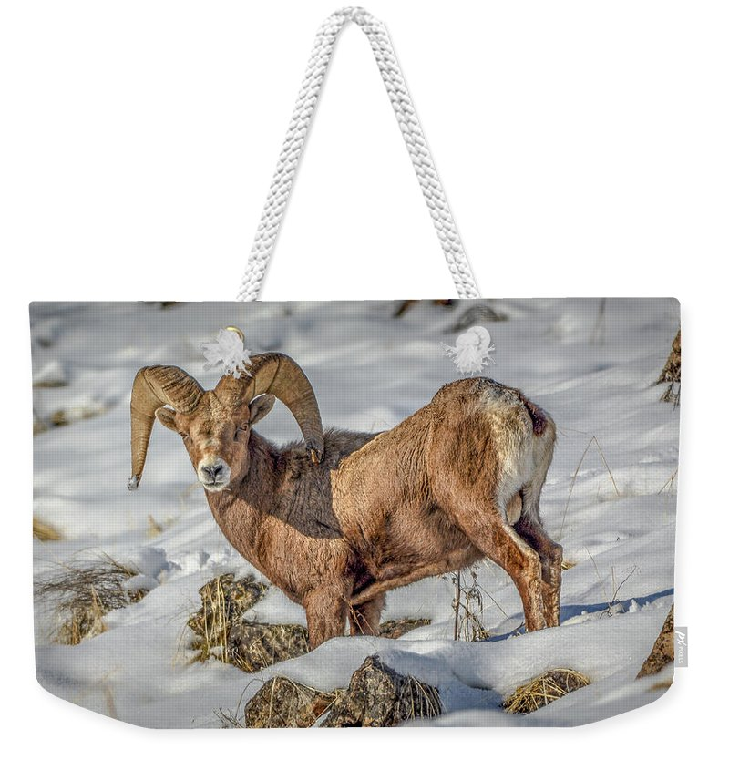 Bighorn Ram Weekender Tote Bag featuring the photograph Bighorn in the snow by Jason Brooks