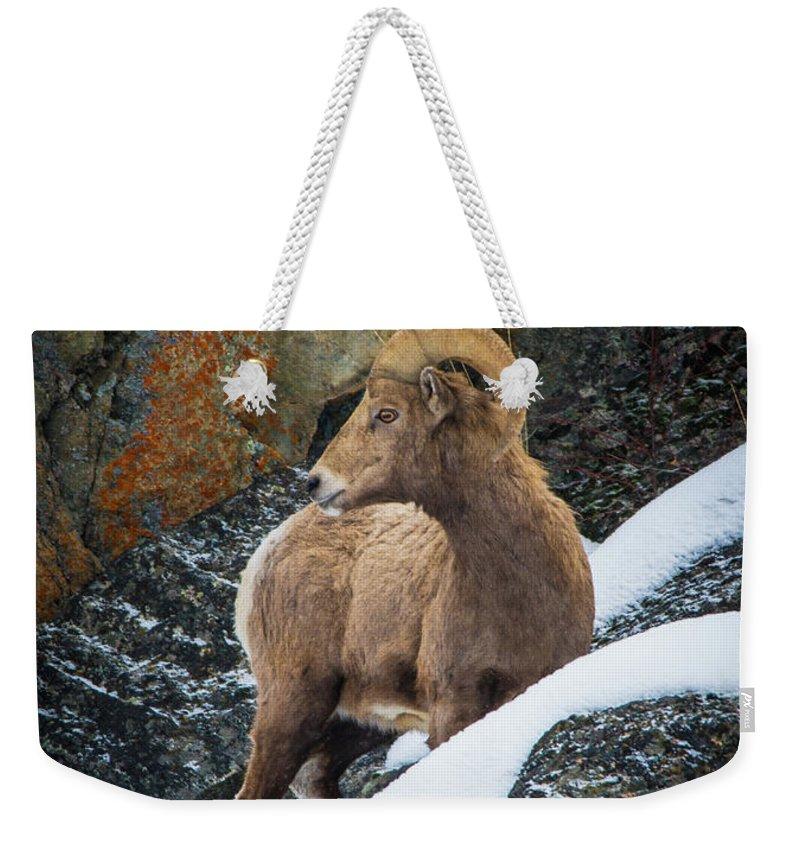 Bighorn Sheep Weekender Tote Bag featuring the photograph Bighorn Ram 1 by Jason Brooks