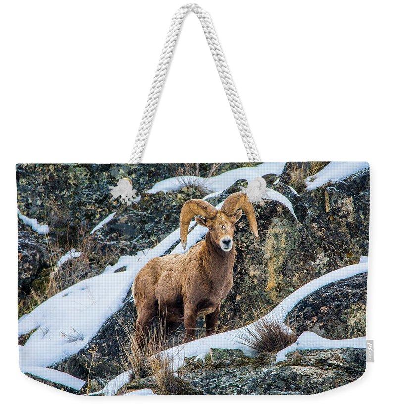 Bighorn Sheep Weekender Tote Bag featuring the photograph Bighorn Ram 3 by Jason Brooks