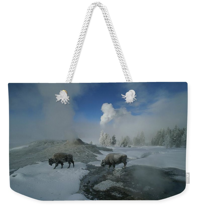 North America Weekender Tote Bag featuring the photograph Bison Walking In Front Of Lion Geyser by Norbert Rosing
