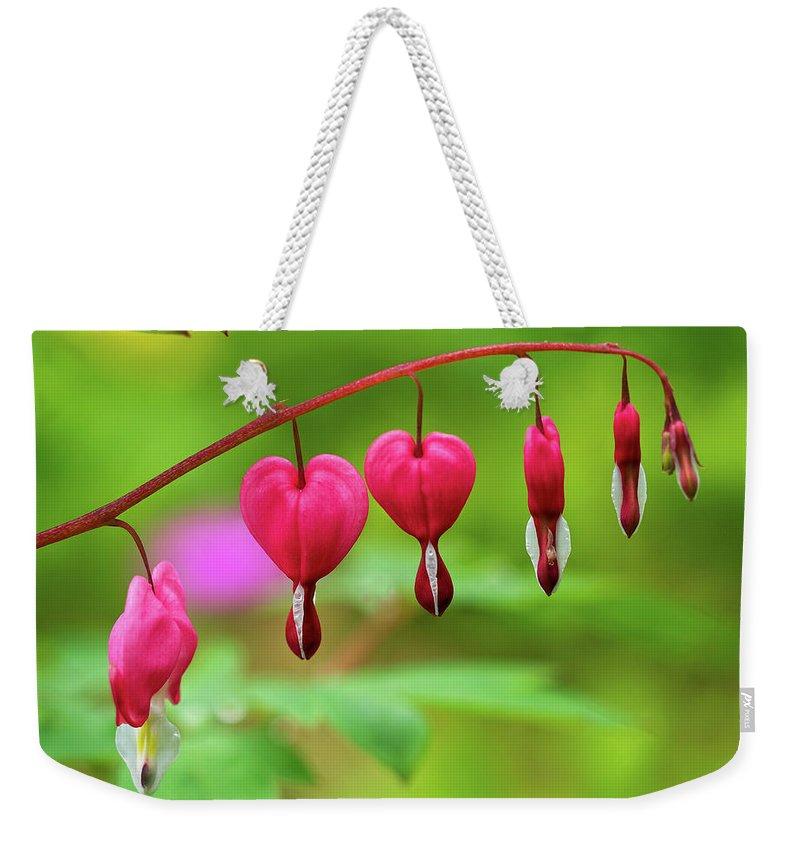 Lamprocapnos-spectabilis Weekender Tote Bag featuring the photograph Bleeding Hearts - Lamprocapnos-spectabilis by Susie Peek