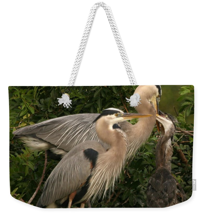 Blue Heron Bird Wildlife Family Gray Grey Shore Florida Rookery Feeding Baby Weekender Tote Bag featuring the photograph Blue Heron Family by Shari Jardina