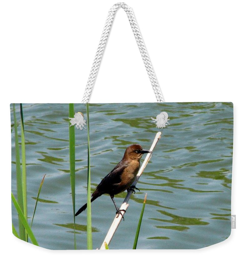 Bird Weekender Tote Bag featuring the photograph Boat Tailed Grackle Female by J M Farris Photography
