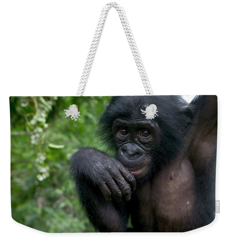 Mp Weekender Tote Bag featuring the photograph Bonobo Pan Paniscus Juvenile Orphan by Cyril Ruoso
