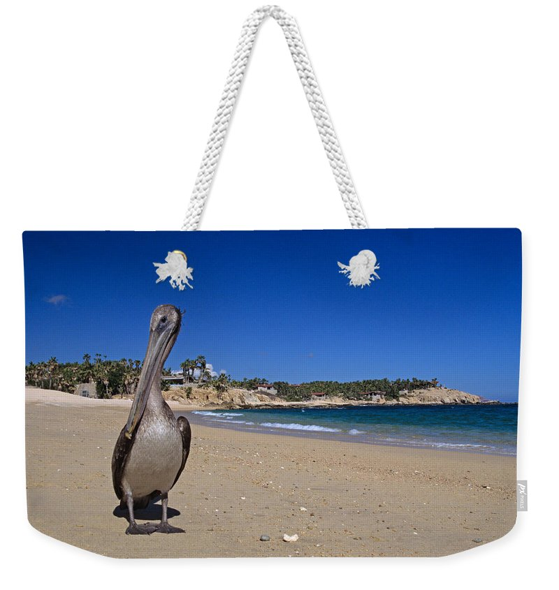 Pelican Weekender Tote Bag featuring the photograph Brown Pelican At The Baja by John Harmon