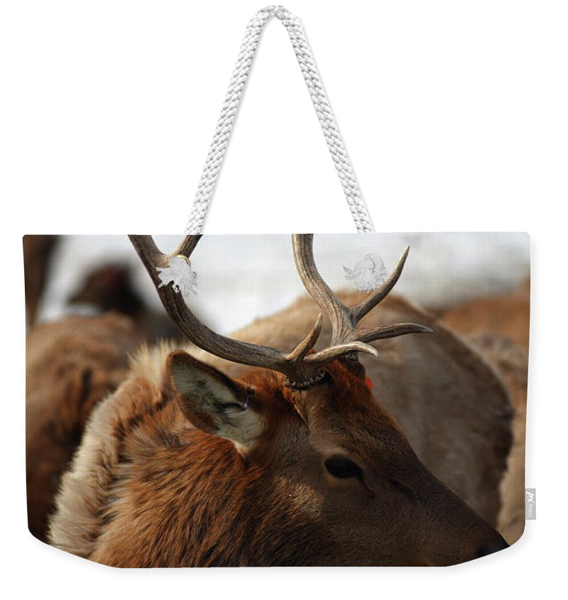 Cervus Canadensis Weekender Tote Bag featuring the photograph Bull Elk At Hardware Ranch 2 by Ron Brown Photography