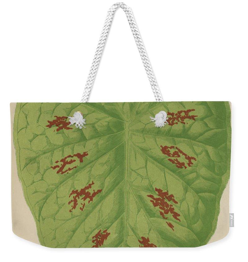 Caladium Verschaffelti Weekender Tote Bag featuring the painting Caladium Verschaffelti by English School