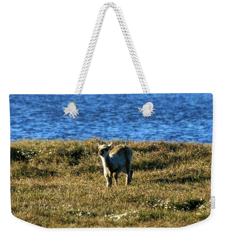Fawn Weekender Tote Bag featuring the photograph Caribou Fawn by Anthony Jones
