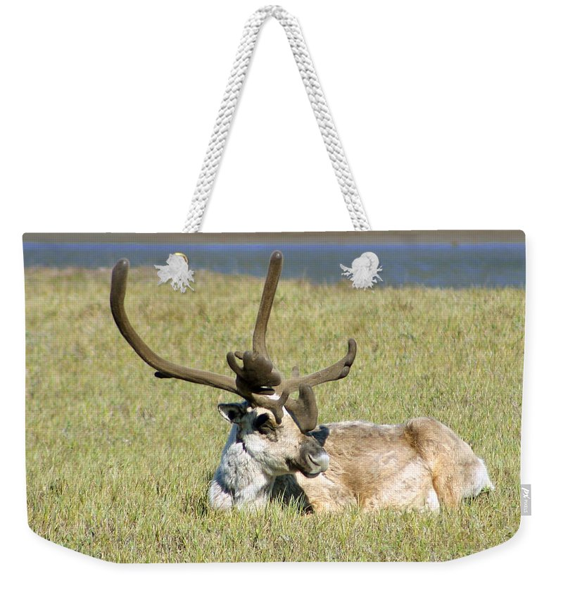 Caribou Weekender Tote Bag featuring the photograph Caribou Rest by Anthony Jones