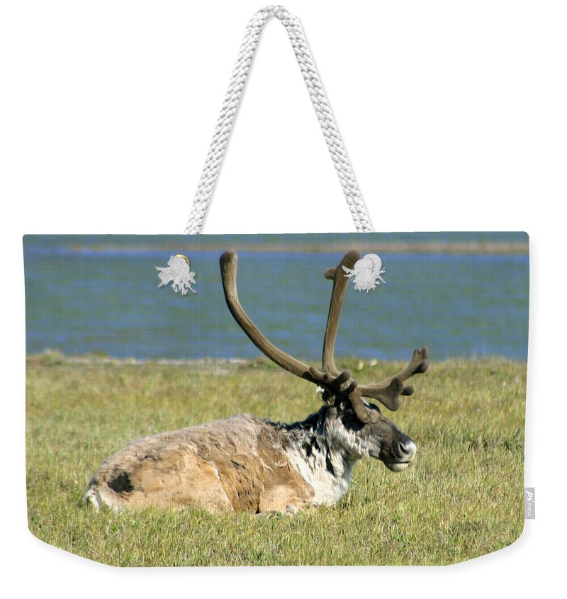 Caribou Weekender Tote Bag featuring the photograph Caribou Resting by Anthony Jones