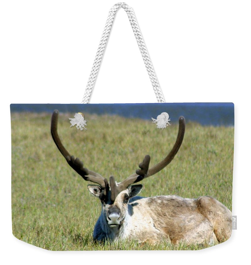 Caribou Weekender Tote Bag featuring the photograph Caribou Resting In Tundra Grass by Anthony Jones