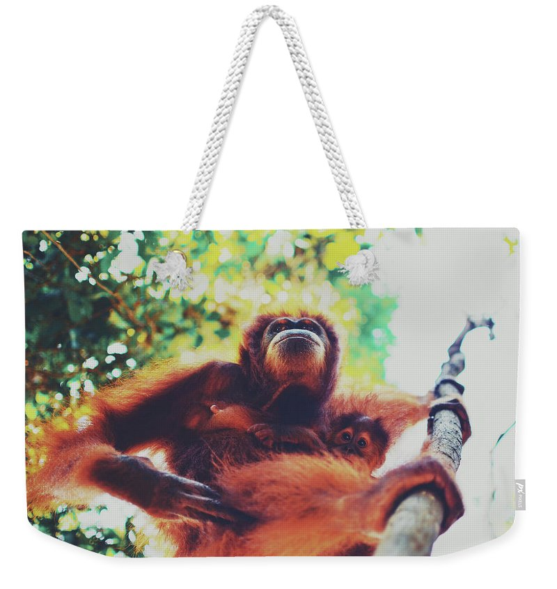 Adult Weekender Tote Bag featuring the photograph Closeup Portrait Of A Wild Sumatran Adult Female Orangutan Climbing Up The Tree And Holding A Baby by Srdjan Kirtic