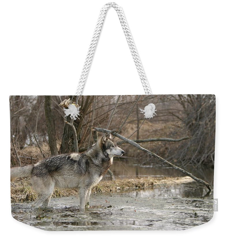 Wolf Canid Canus Lupis Wildlife Wild Animal Mammal Gray Grey Timberwolf Photograph Photography Digital Art Weekender Tote Bag featuring the photograph Concentration by Shari Jardina