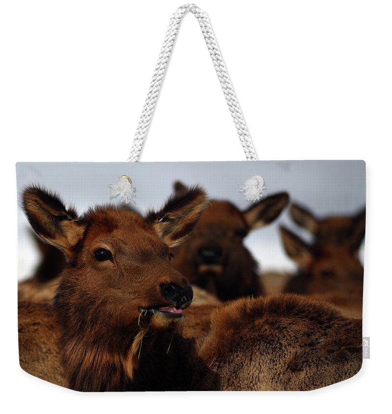 Cervus Canadensis Weekender Tote Bag featuring the photograph Cow Elk At Hardware Ranch by Ron Brown Photography