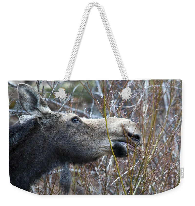 Moose Weekender Tote Bag featuring the photograph Cow Moose Dining On Willow by Gary Beeler