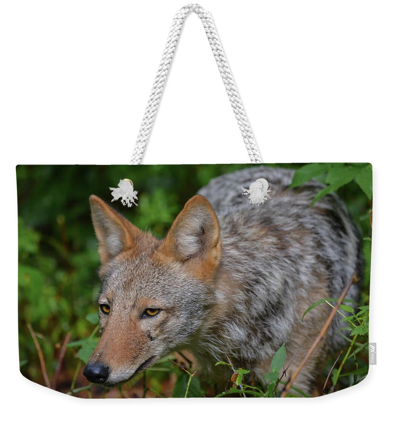 Wildlife Weekender Tote Bag featuring the photograph Coyote On The Hunt by Jesse MacDonald