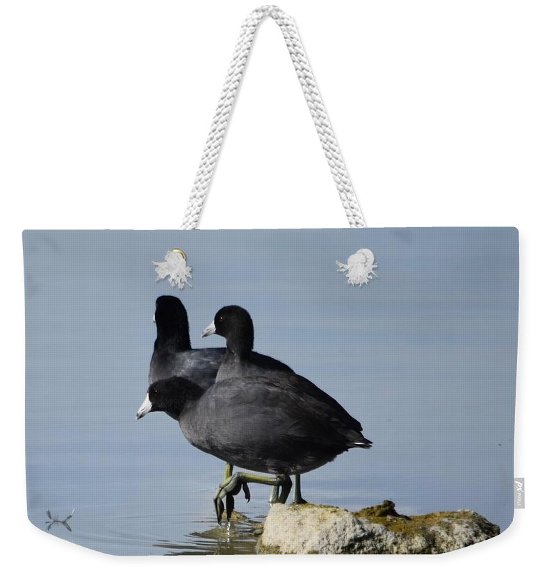 American Coots Weekender Tote Bag featuring the photograph Curly, Moe, And Larry by Linda Benoit