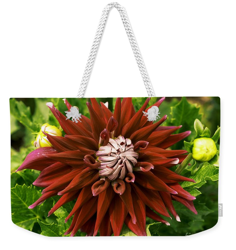 Connecticut Weekender Tote Bag featuring the photograph Dahlia In Bloom 18 by Joe Geraci