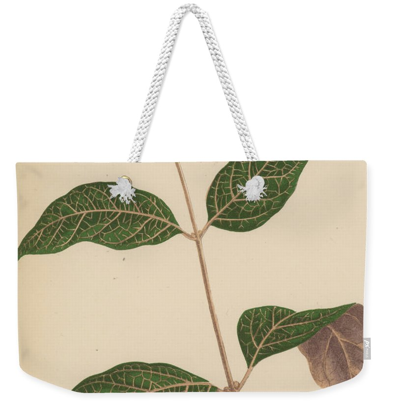 Leaf Weekender Tote Bag featuring the painting Echites Nutans by English School