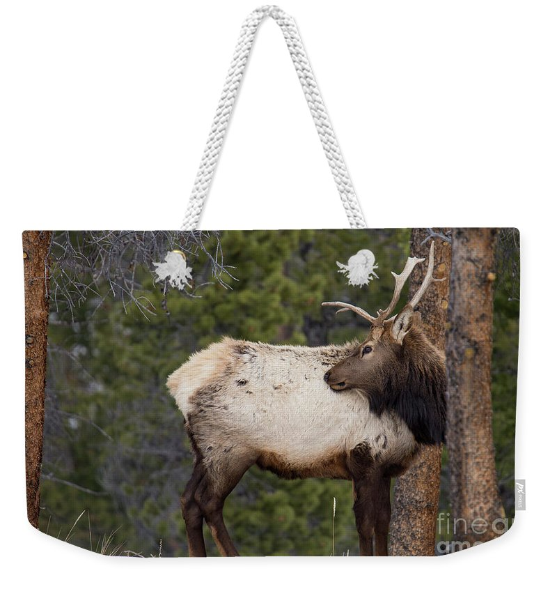 Elk Weekender Tote Bag featuring the photograph Elk Looking Back by Twenty Two North Photography