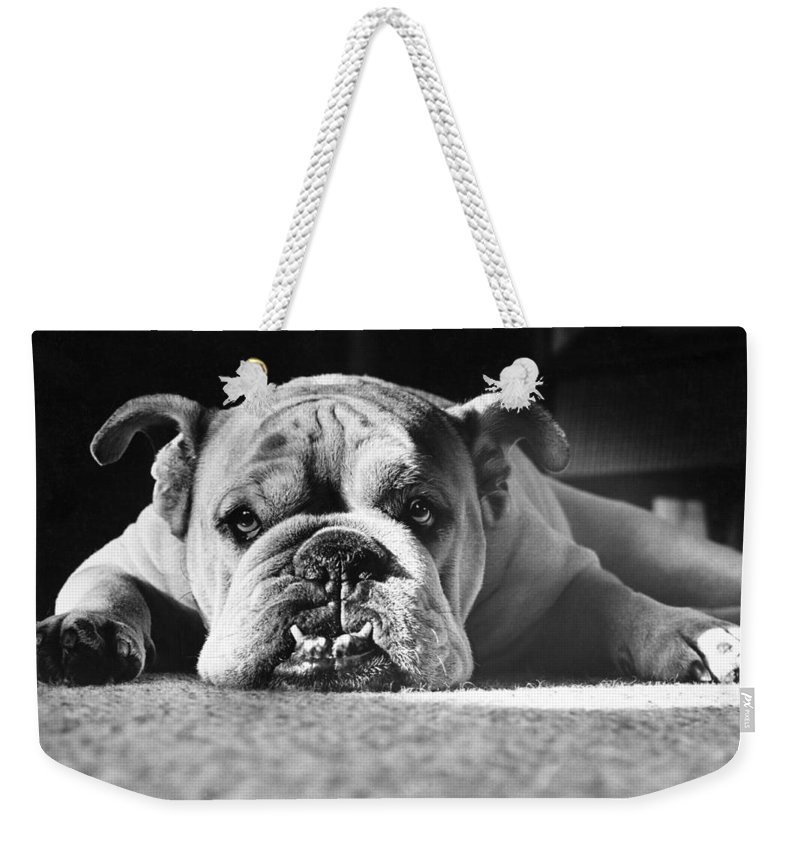Animal Weekender Tote Bag featuring the photograph English Bulldog by M E Browning and Photo Researchers