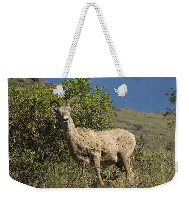 Sheep Weekender Tote Bag featuring the photograph Ewe 3 by Sara Stevenson
