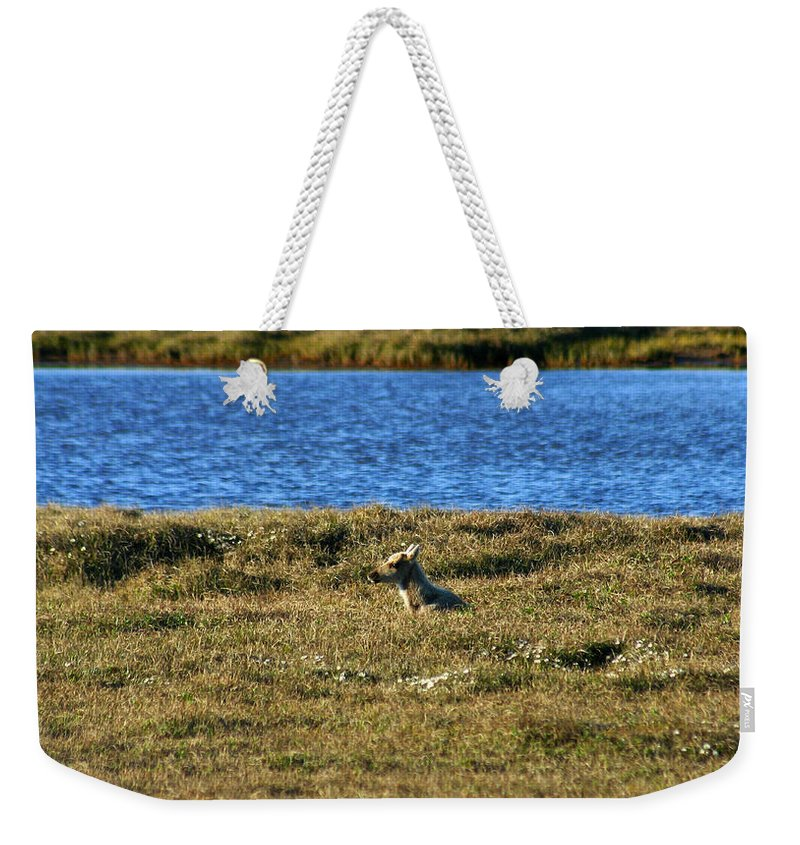 Caribou Weekender Tote Bag featuring the photograph Fawn Caribou by Anthony Jones