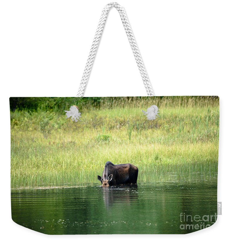 Vermont Moose Weekender Tote Bag featuring the photograph Feeding Moose by Sherman Perry