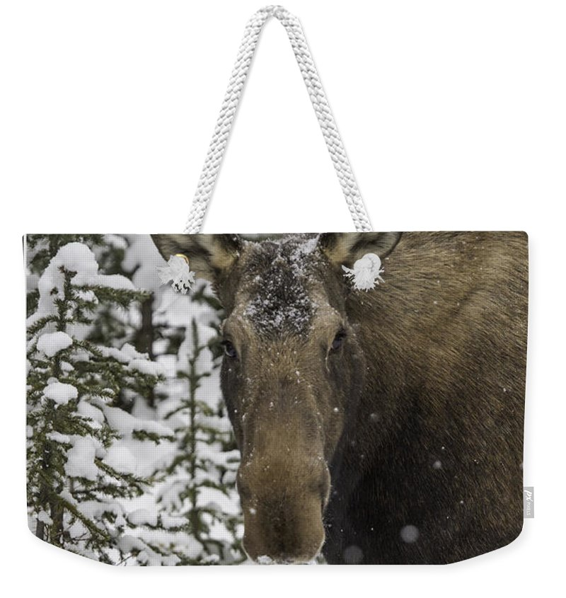Moose Weekender Tote Bag featuring the photograph Female Moose In A Winter Wonderland by J and j Imagery