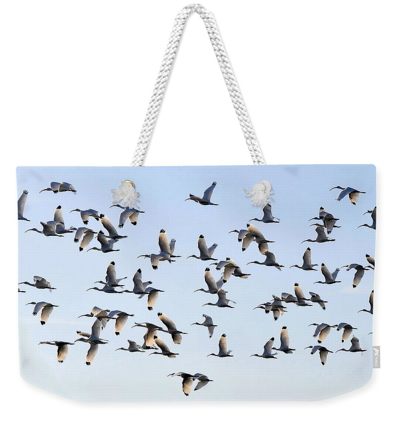 White Ibis Weekender Tote Bag featuring the photograph Flight Of The White Ibis by David Lee Thompson