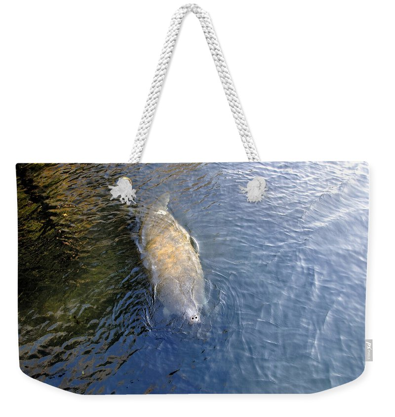 Manatee Weekender Tote Bag featuring the photograph Florida Manatee by David Lee Thompson