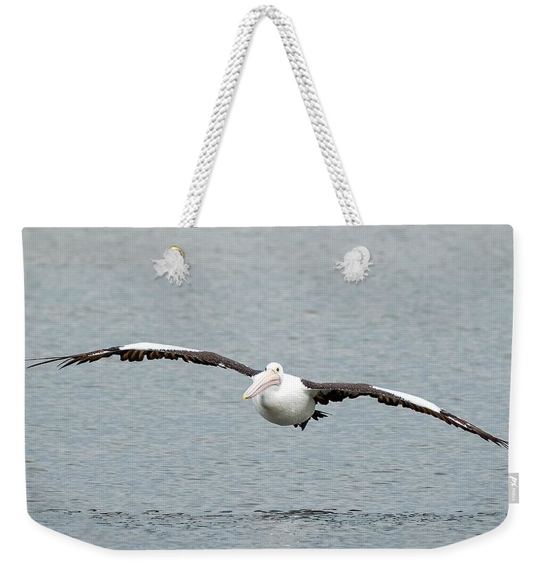 An Australian Pelican (pelecanus Conspicillatus) Gracefully Flying In To Land. Weekender Tote Bag featuring the photograph Flying Pelican by Catherine Reading