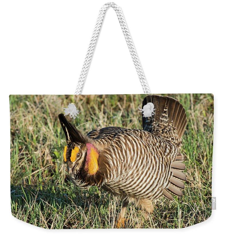 Greater Prairie Chicken Weekender Tote Bag featuring the photograph Greater Prairie Chicken Male 9 by David Drew