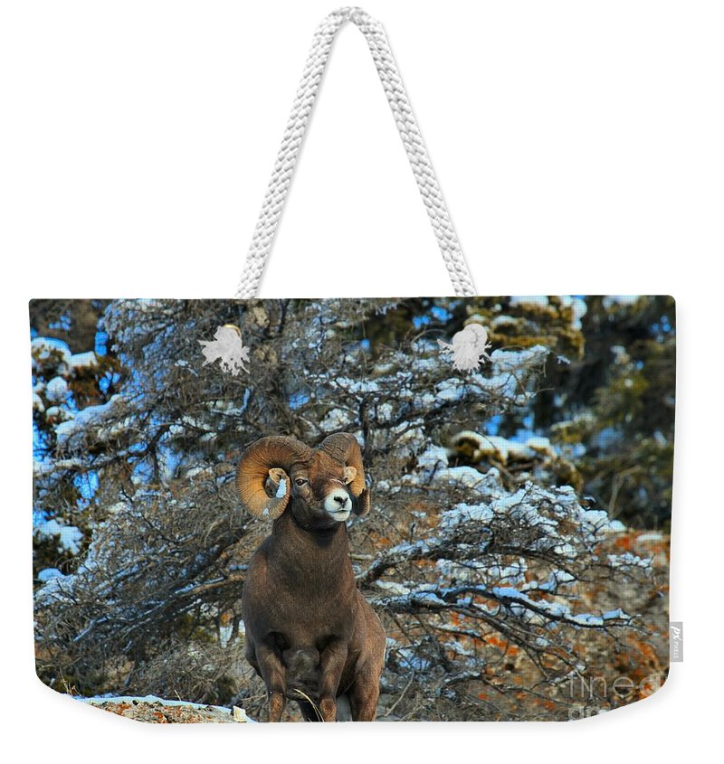 Big Horn Weekender Tote Bag featuring the photograph Jasper Alpha Male by Adam Jewell