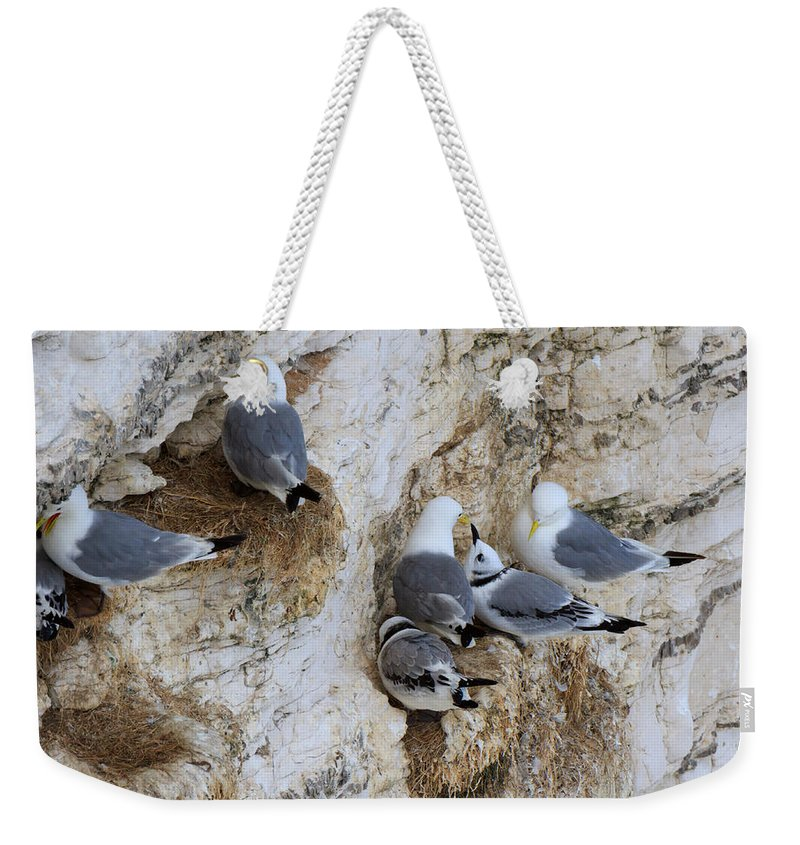 Kittiwakes Weekender Tote Bag featuring the photograph Kittiwakes Tend Their Chicks At Rspb Bempton Cliffs by Louise Heusinkveld
