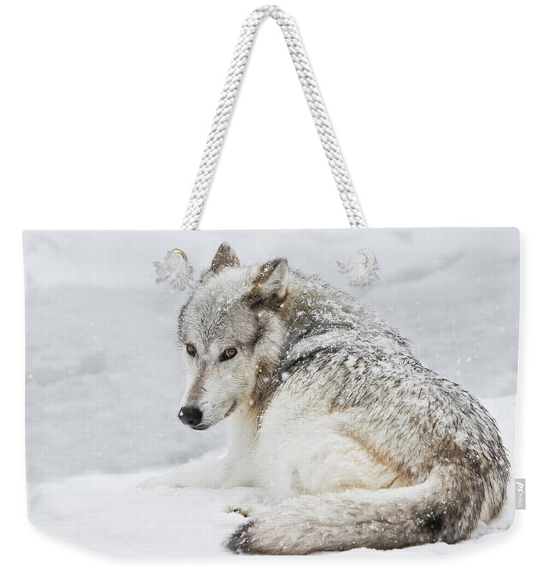 Wolves Weekender Tote Bag featuring the photograph Laying Out In A Winter Storm II by Athena Mckinzie