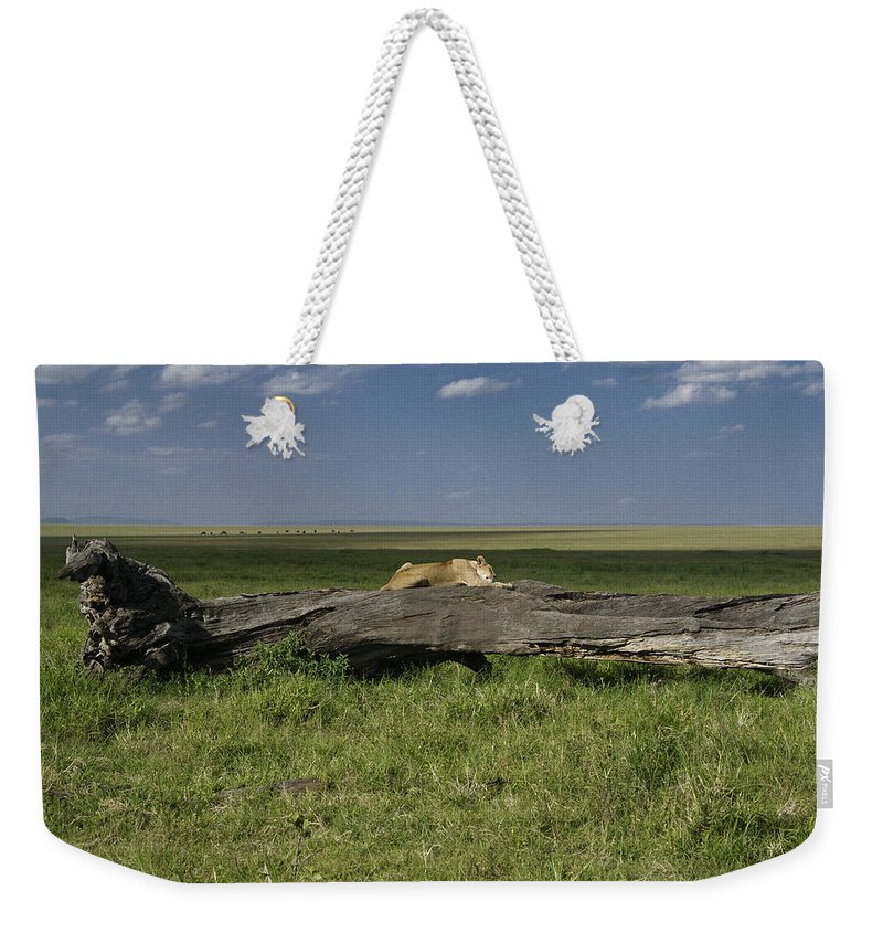 Africa Weekender Tote Bag featuring the photograph Lion on a Log by Michele Burgess