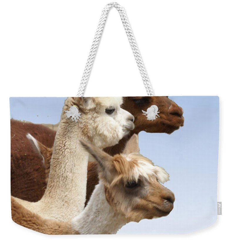 Llama Weekender Tote Bag featuring the photograph Llama's Three by Heather Coen