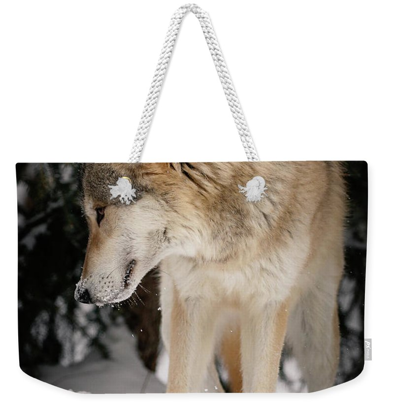 Wolf Weekender Tote Bag featuring the photograph Lone Wolf IIi by Athena Mckinzie