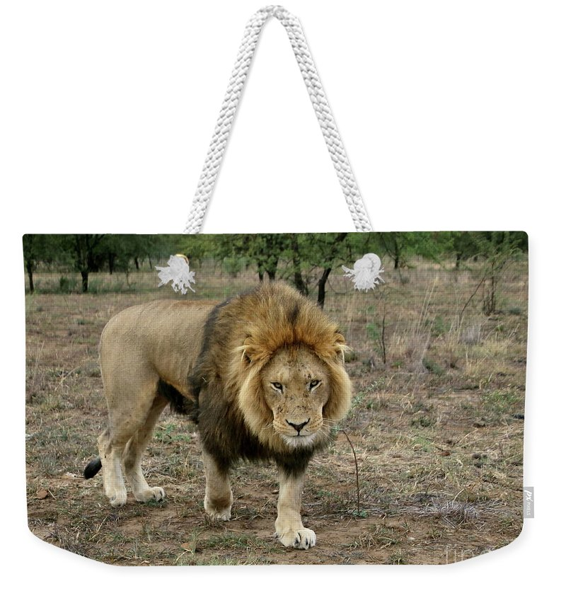 Wildlife Weekender Tote Bag featuring the photograph Male Lion On Alert by Myrna Bradshaw
