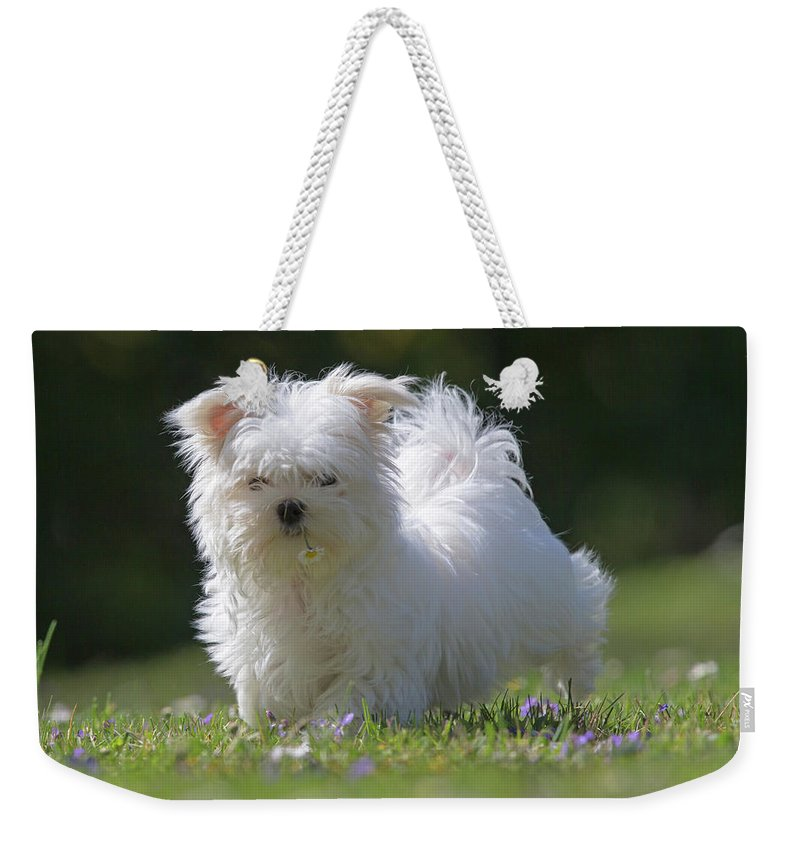 Maltese Weekender Tote Bag featuring the photograph Maltese And Daisy by Jean-Luc Baron