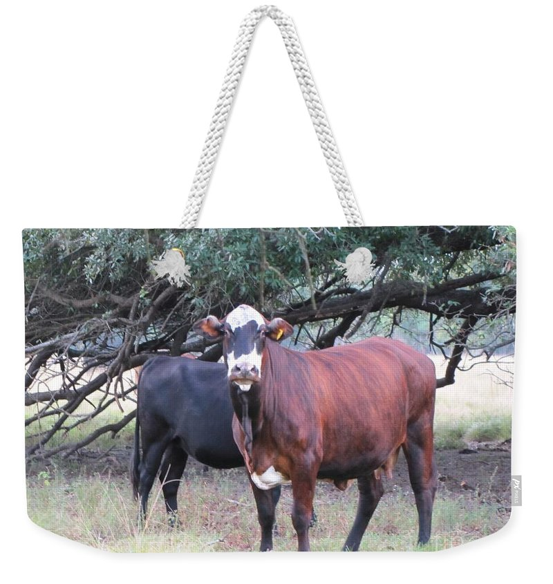 Cows Weekender Tote Bag featuring the photograph Moo Cow by Michelle Powell