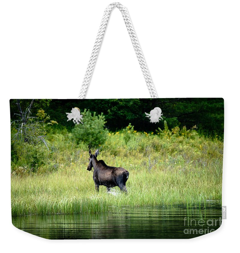 Moose Weekender Tote Bag featuring the photograph Moose Cow by Sherman Perry