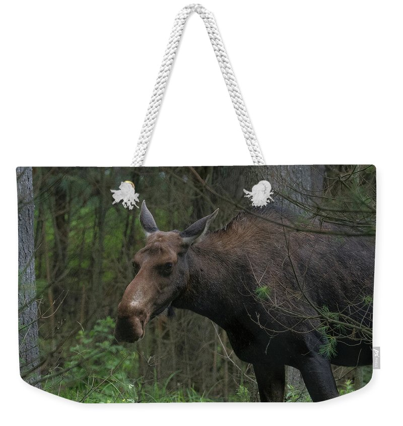 Wildlife Weekender Tote Bag featuring the photograph Moose In Maine by Jesse MacDonald
