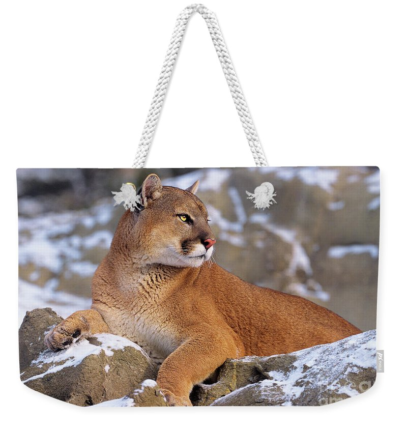 North America Weekender Tote Bag featuring the photograph Mountain Lion On Snow-covered Rock Outcrop by Dave Welling