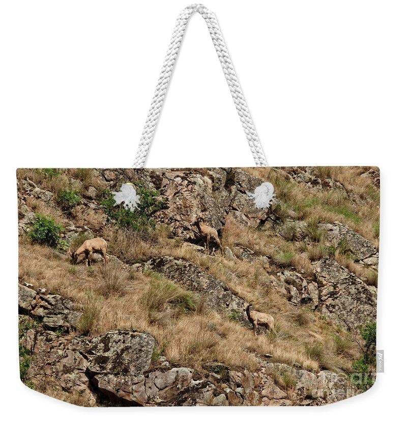 Sheep Weekender Tote Bag featuring the photograph Mountain Sheep Hell Canyon by Robert Bales